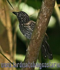[:en]Bird Black-hooded Antshrike[:es]Ave Batará Negruzco[:]