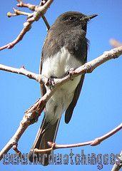 [:en]Bird Black Phoebe[:es]Ave Mosquero de Agua[:]