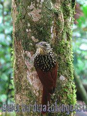 [:en]Bird Black-striped Woodcreeper[:es]Ave Trepador Pinto[:]