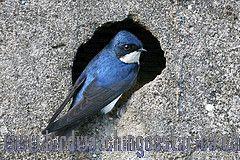 [:en]Bird Blue-and-white Swallow[:es]Ave Golondrina Azul y Blanco[:]