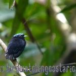 [:en]Bird Blue-crowned Manakin[:es]Ave Saltarín Coroniceleste[:]