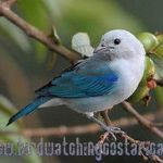 [:en]Bird Blue-gray Tanager[:es]Ave Tangara Azuleja, Viuda[:]