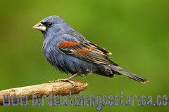 [:en]Bird Blue Grosbeak[:es]Ave Picogrueso Azul[:]