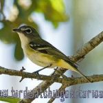 [:en]Bird Blue-headed Vireo[:es]Ave Vireo Solirario[:]