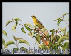 [:en]Bird Orchard Oriole[:es]Ave Bolsero Castaño[:]