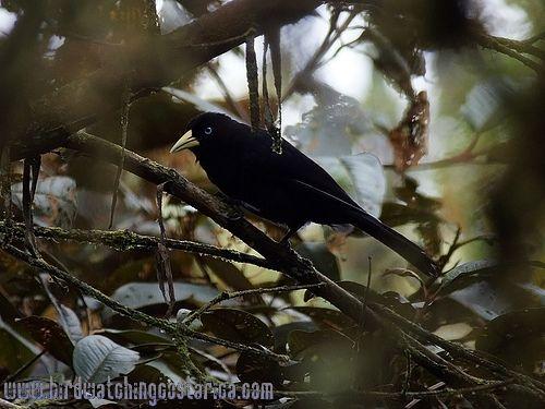[:en]Bird Scarlet-rumped Cacique[:es]Ave Cacique Lomiescarlata, Plío[:]
