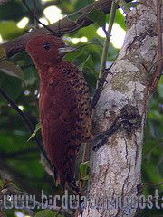 [:en]Bird Chestnut-colored Woodpecker[:es]Ave Carpintero Castaño[:]