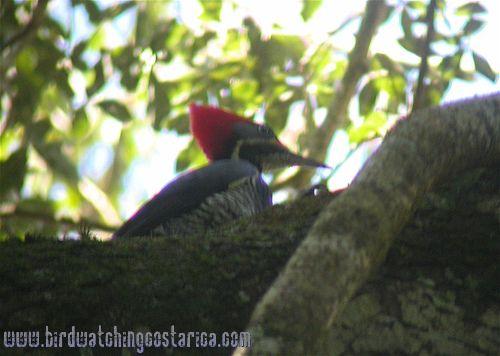 [:en]Bird Lineated Woodpecker[:es]Ave Carpintero Lineado[:]