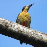 [:en]Bird Golden-naped Woodpecker[:es]Ave Carpintero Nuquidorado[:]