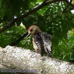 [:en]Bird Red-crowned Woodpecker[:es]Ave Carpintero Nuquirrojo[:]