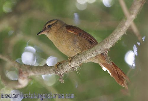 [:en]Bird Red-faced Spinetail[:es]Ave Colaespina Carirroja[:]