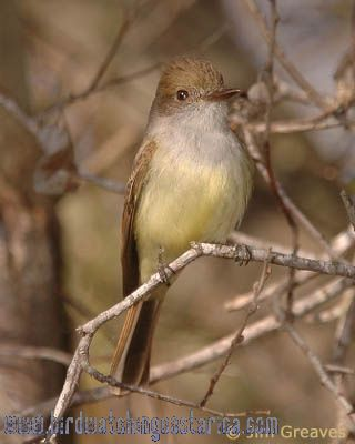 [:en]Bird Dusky-capped Flycatcher[:es]Ave Copetón Crestioscuro[:]
