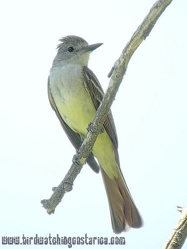 [:en]Bird Brown-crested Flycatcher[:es]Ave Copetón Crestipardo[:]