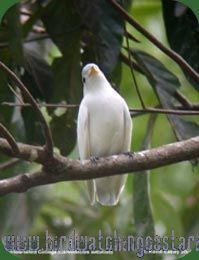 [:en]Bird Yellow-billed Cotinga[:es]Ave Cotinga Piquiamarillo[:]