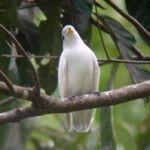 [:en]Bird Yellow-billed Cotinga[:es]Ave Cotinga Piquiamarillo[:]