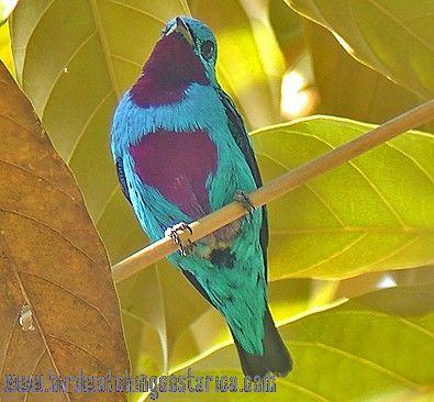 [:en]Bird Turquoise Cotinga[:es]Ave Cotinga Turquesa[:]