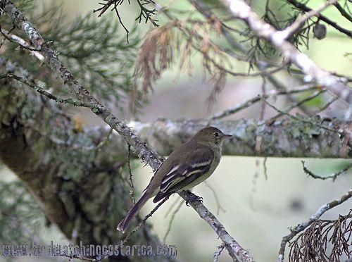 [:en]Bird Mountain Elaenia[:es]Ave Elainia Montañera[:]