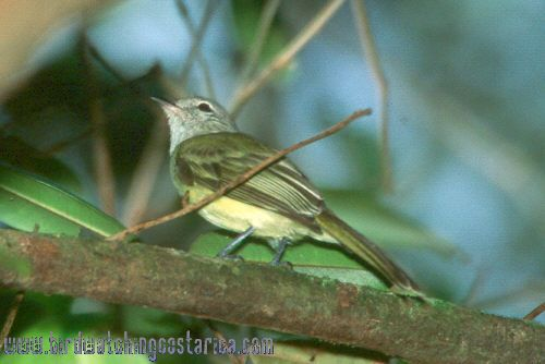 [:en]Bird Greenish Elaenia[:es]Ave Elainia Verdosa[:]