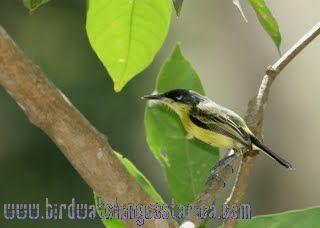 [:en]Bird Black-headed Tody Flycatcher[:es]Ave Espatulilla Cabecinegra[:]