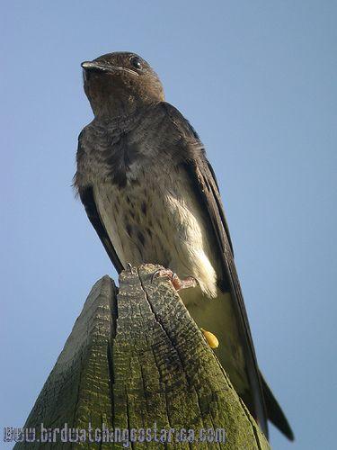 [:en]Bird Tree Swallow[:es]Ave Golondrina Bicolor[:]