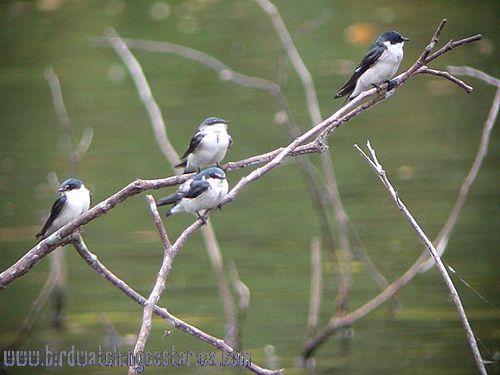 [:en]Bird Mangrove Swallow[:es]Ave Golondrina Lomiblanca[:]