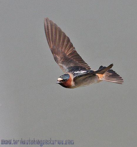 [:en]Bird Cliff Swallow[:es]Ave Golondrina Risquera[:]