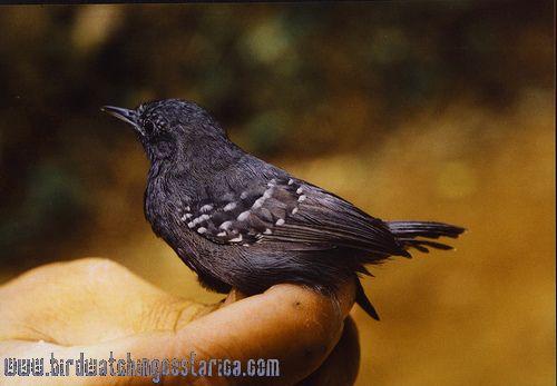 [:en]Bird Slaty Antwren[:es]Ave Hormiguerito Pizarroso[:]