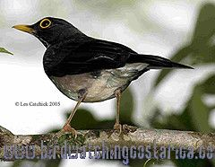 [:en]Bird White-throated Robin[:es]Ave Mirlo Gorgiblanco[:]