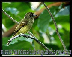 [:en]Bird Sepia-capped Flycatcher[:es]Ave Mosquerito Cabecipardo[:]
