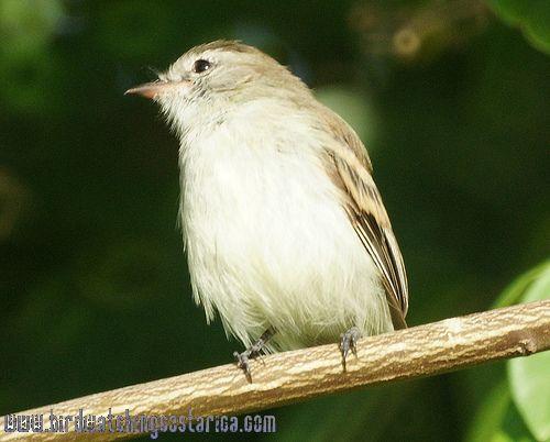 [:en]Bird Mouse-colored Tyrannulet[:es]Ave Mosquerito Cafecito[:]