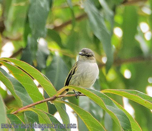 [:en]Bird Paltry Tyrannulet[:es]Ave Mosquerito Cejigris[:]