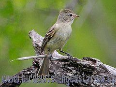 [:en]Bird Northern Beardless-Tyrannulet[:es]Ave Mosquerito Chillón[:]