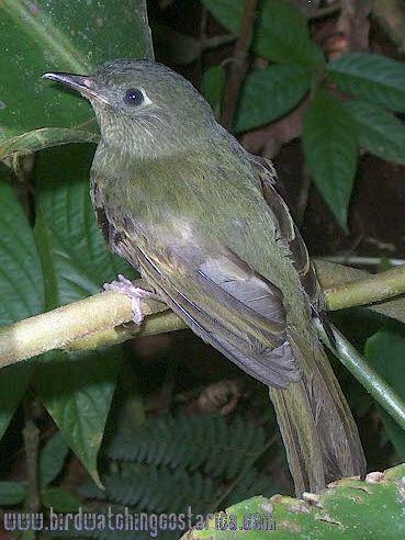 [:en]Bird Olive-striped Flycatcher[:es]Ave Mosquerito Ojimanchado[:]