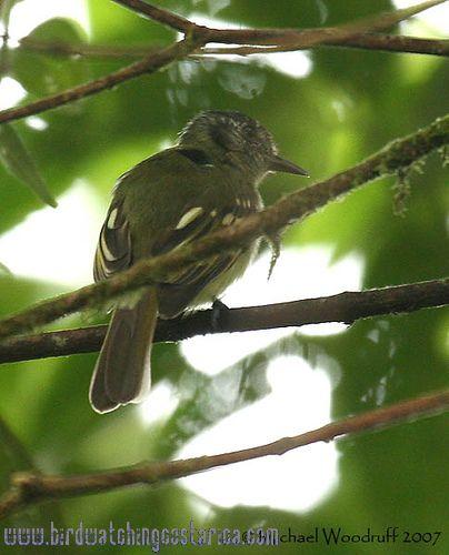 [:en]Bird Slaty-capped Flycatcher[:es]Ave Mosquerito Orejinegro[:]