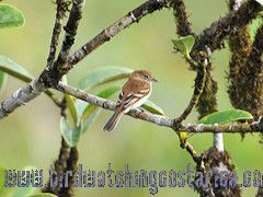 [:en]Bird Bran-colored Flycatcher[:es]Ave Mosquerito Pechirrallado[:]