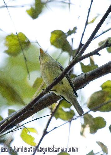 [:en]Bird Yellow-bellied Flycatcher[:es]Ave Mosquerito Vientriamarillo[:]