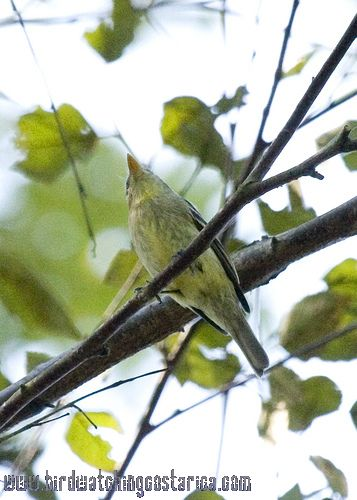 [:en]Bird Yellow-bellied Flycatcher[:es]Ave Mosquerito Vientriamarillo[:]