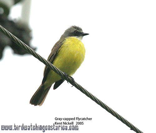 [:en]Bird Gray-capped Flycatcher[:es]Ave Mosquero Cabecifris[:]
