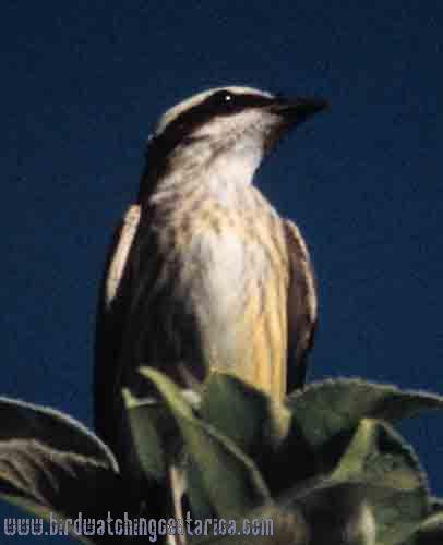 [:en]Bird Piratic Flycatcher[:es]Ave Mosquero Pirata[:]