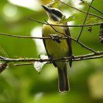 [:en]Bird Golden-bellied Flycatcher[:es]Ave Mosquero Vientridorado[:]