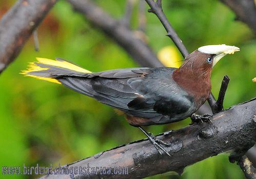 [:en]Bird Chestnut-headed Oropendula[:es]Ave Oropéndola Cabecicastaña[:]