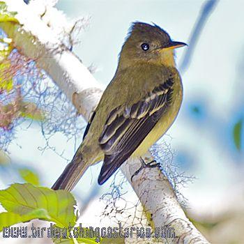 [:en]Bird Ochraceous Pewee[:es]Ave Pibí Ocráceo[:]