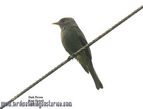 [:en]Bird Dark Pewee[:es]Ave Pibí Sombrío[:]