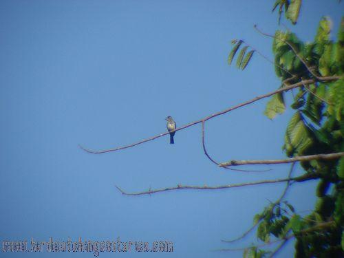 [:en]Bird Tropical Pewee[:es]Ave Pibí Tropical[:]