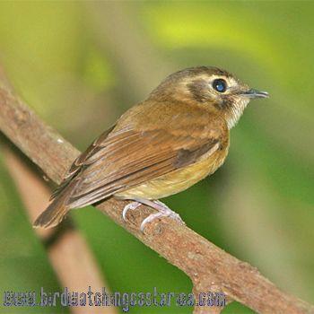 [:en]Bird Stub-tailed Spadebill[:es]Ave Piquichato Norteño[:]