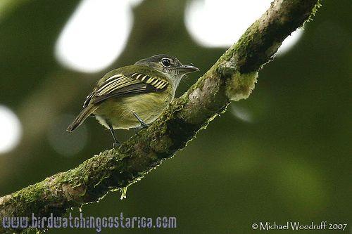 [:en]Bird Yellow-margined Flycatcher[:es]Ave Piquiplano Aliamarillo[:]