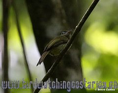 [:en]Bird Eye-ringed Flatbill[:es]Ave Piquiplano de Anteojos[:]