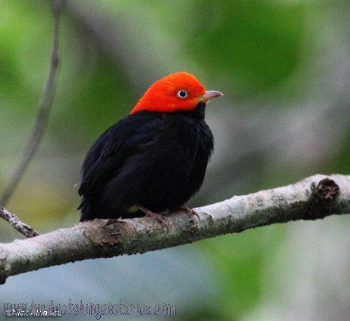 [:en]Bird Red-capped Manakin[:es]Ave Saltarín Cabecirrojo[:]