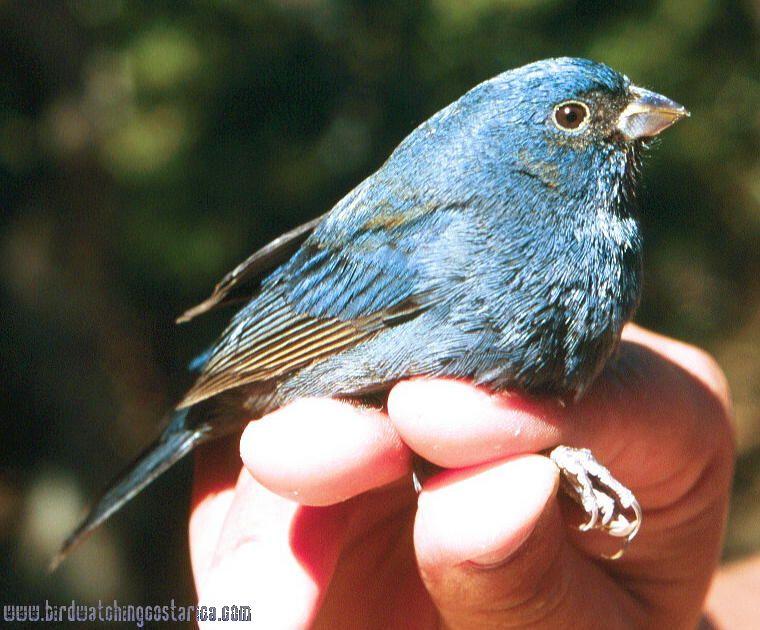 [:en]Bird Blue Seedeater[:es]Ave Semillero Azulado[:]