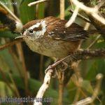 [:en]Bird Timberline Wren[:es]Ave Soterrey del Bambú[:]
